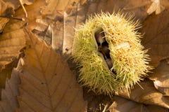 Раковина сладостного каштана Стоковые Фото