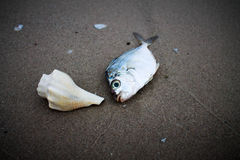 Раковина с рыбами на пляже Стоковая Фотография RF