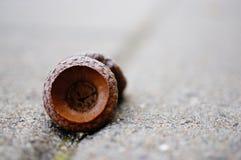 Раковина дуба Стоковые Фото