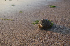 Раковина улитки на пляже Стоковое Изображение RF