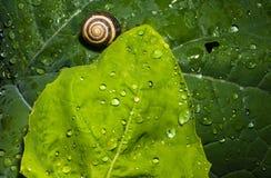 Раковина улитки на влажных листьях Стоковые Фото