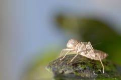 раковина цикады близкая вверх Стоковое Фото