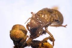 Раковина цикады Стоковое Фото