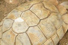 Раковина черепахи Sulcata стоковые фотографии rf