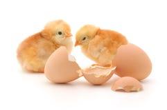 раковина яичка цыплят Стоковое Фото