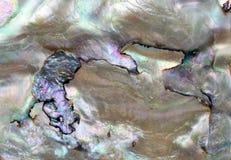 раковина abalone Стоковая Фотография RF