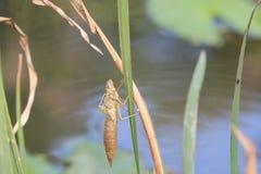 Раковина Dragonfly Стоковые Фотографии RF