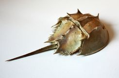 Раковина Horseshoe краба Стоковые Фото