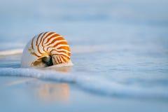 Раковина Nautilus на белом песке пляжа Флориды под светом солнца Стоковая Фотография
