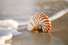 Раковина Nautilus на белом песке пляжа Флориды под светом солнца Стоковые Фотографии RF
