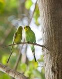 раковина parakeet budgerigars ветви Стоковая Фотография RF