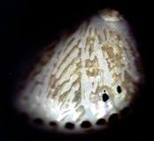 раковина paua abalone Стоковые Изображения RF