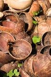 Раковины кокоса с зеленой лозой Стоковое Фото