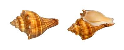 Раковины моря Брайна и апельсина изолированные на белизне Стоковое фото RF