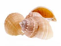 Раковины моря морских улиток изолированных на белой предпосылке Стоковая Фотография RF