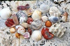Раковины моря на коралле Стоковая Фотография RF