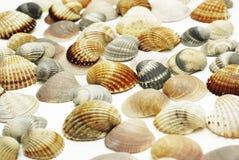 раковины моря Стоковая Фотография RF