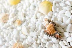 Раковины на белых камнях Стоковое фото RF