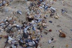 Раковины на песчаном пляже Vao в Виго, Виго, Галиции, Испании Стоковое Изображение