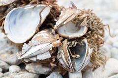 Раковины обернутые с морской водорослью Стоковые Фотографии RF