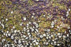 раковины утеса устрицы стоковые изображения rf
