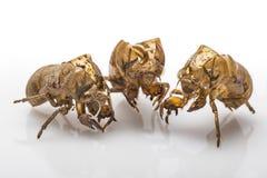 3 раковины цикады Стоковая Фотография