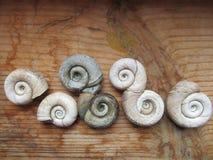 Раковины Gastropod на деревянной предпосылке стоковые фото