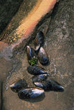 раковины mussell Стоковая Фотография RF