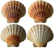 4 раковины Scallop - см. Pectinidae - 2 Стоковые Фото