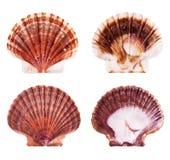 раковины scallop Стоковое Изображение