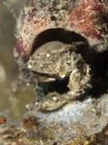 Рак губки Cryptodomia стоковое фото