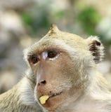 Рак есть обезьяну макака (irus Macaca) Стоковое Фото