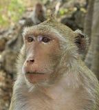 Рак есть обезьяну макака (irus Macaca) Стоковое Изображение RF