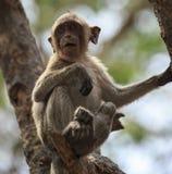 Рак есть обезьяну макака (irus Macaca) Стоковые Изображения RF