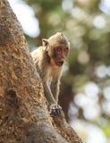 Рак есть обезьяну макака (irus Macaca) Стоковое фото RF