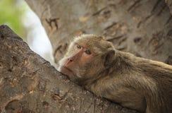 Рак есть обезьяну макака (irus Macaca) Стоковые Фото