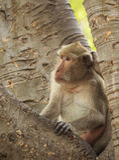 Рак есть обезьяну макака (irus Macaca) Стоковые Фотографии RF