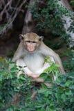 рак есть обезьяну Стоковые Фото