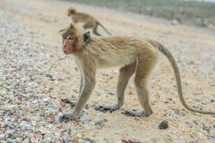рак есть macaque Стоковое Изображение