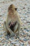 рак есть macaque Стоковое Изображение RF