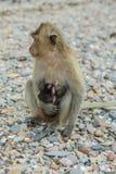 рак есть macaque Стоковые Изображения