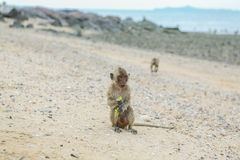 рак есть macaque Стоковое фото RF