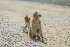 рак есть macaque Стоковые Фото