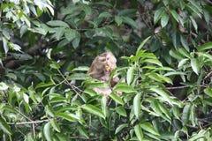 рак есть macaque Стоковые Фотографии RF