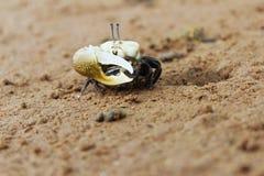 Рак на песке Стоковая Фотография