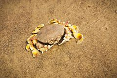 рак пляжа Стоковое фото RF