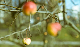 рак яблока Стоковое Фото