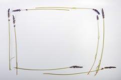 Рамка лаванды стоковое изображение rf