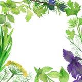 Рамка акварели пряных заводов Зеленые condiments изолированные на белой предпосылке Пряные травы: Базилик, кориандр, розмариновое иллюстрация вектора