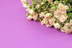 Рамка бежевых красивых мини роз на яркой предпосылке сирени праздники установьте текст стоковое фото